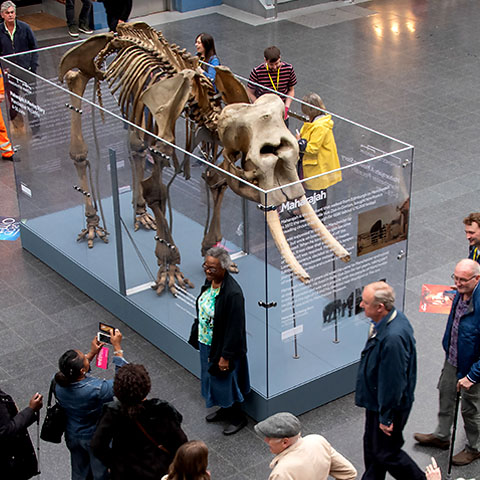 Maharajah The Elephant on display at Manchester Piccadilly